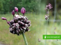 I just spotted Käärmeenlaukka with #naturegateapp http://www.naturegate.net/