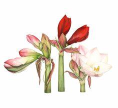 http://www.soc-botanical-artists.org/artist/fiona-wheeler/