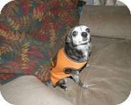 Spanaway, WA - Chihuahua. Meet Sweetie Pie a Dog for Adoption.
