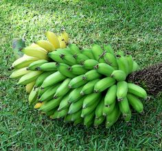 A Kitchen Garden in Kihei Maui: Growing Dwarf Apple Bananas Plenty to share with the neighbors Banana Plants, Cool Plants, Dwarf, Fruit Trees, The Great Outdoors, Organic Gardening, Maui, Outdoor Gardens, Harvest