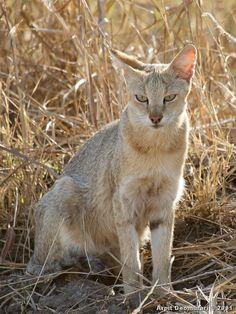 Felis Chaus - Jungle Cat Rare Animals, Animals And Pets, Small Wild Cats, Big Cats, Black Footed Cat, Wild Cat Species, Sand Cat, Spotted Cat, Jungle Cat