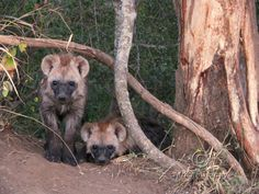 Hyaena Cubs Peeping out of their Den Photography Digital JPG Download on Etsy, $3.50