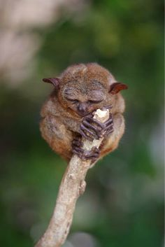 Tarsier, one of the smallest primates. All the species living today are found in the islands of Southeast Asia.