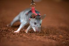 Hero Rats detect landmines and TB for a living