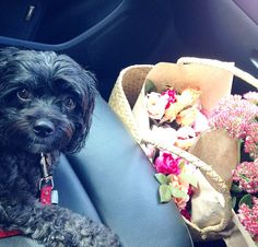 Dogs and Flowers Perfect Sydney Pair Cavoodle Dog, Sydney, Pairs, Dogs, Cute, Flowers, Animals, Animales, Animaux