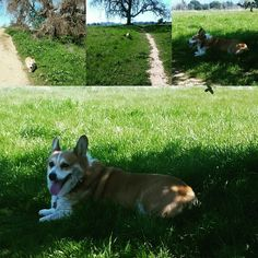 Husky, Corgi, Park, Exercise, Animals, Ejercicio, Animais, Corgis, Excercise