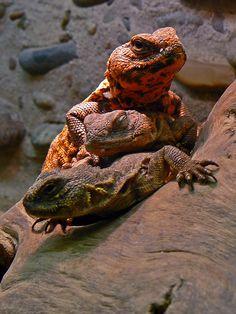 Wildlife World Zoo  - Arizona lizards