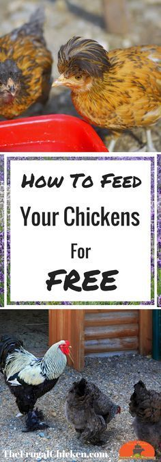 Save Money On Chicken Feed: 8 Ways To Save Mega Bucks When Feeding Your Chickens What The Cluck? Session 10 [Podcast] Tired of spending hundreds on chicken feed? Here's how to feed them for free - without sacrificing their health. Raising Backyard Chickens, Keeping Chickens, Pet Chickens, How To Raise Chickens, Types Of Chickens, Chicken Life, Chicken Runs, Chicken Feed Diy, Chicken Treats