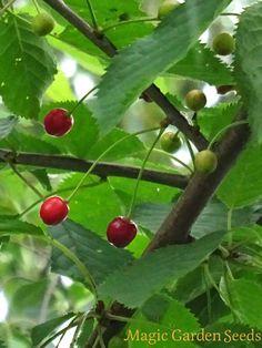 Wildkirsche (Prunus avium subsp. avium) - Samen online bei Magic Garden Seeds