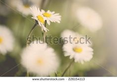 One of my photo on Shutterstock :) #photography #nature #daisy #macrophotography