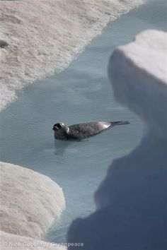 Ringed Seal. Help save its home: savethearctic.org