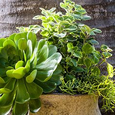 Aeonium 'Mint Saucer' gives this combo some serious heft, like an oversize flower, but one that never needs to be deadheaded.