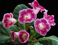 Beautiful Flowers, Rose, Flowers, Houseplants, Plants, African Violets