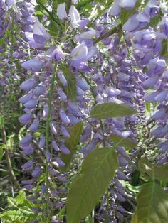Asian Wisteria -- invasive is an under-statement, but lovely when in bloom