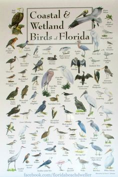 Coastal and Wetland Birds of Florida. Photographed at Naples Pier. Florida Living at the Florida Beach Dweller: https://www.pinterest.com/complcoastal/florida-living/