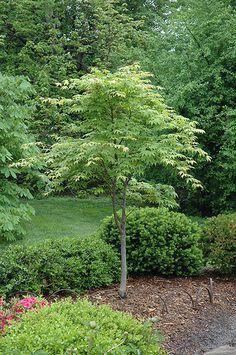 Osakazuki Japanese Maple (Acer palmatum 'Osakazuki') at Westwood Gardens