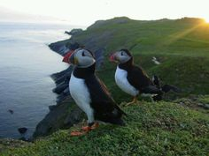 There's nothing like seeing puffins in the wild. Scotland.