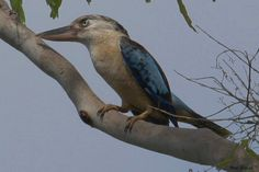 Blue-winged Kookaburra (Dacelo leachii) Adult on branch
