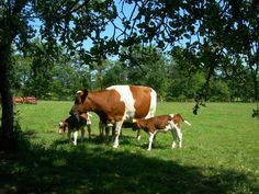 Friese koeien in het Friese landschap. In de  Friese wouden.