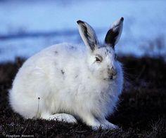 Arctic Hare, Rabbit, Wildlife, Animals, Bunny, Rabbits, Animales, Animaux, Bunnies