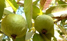 Exotic Fruit Trees: Asian Guava - Large