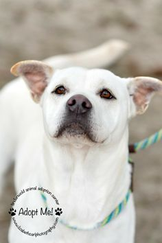 Sweetness is an adoptable Retriever Mix looking for a new forever home in Lindenwold, NJ! She's available through the Animal Adoption Center! See her page for more details!