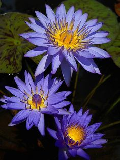 """Lotus Flowers & Water Lilies >>> Click the link to visit my board """"Lotus Flowers & Water Lilies ༺♥༻"""": http://www.pinterest.com/pinbycolor/lotus-flowers-water-lilies"""