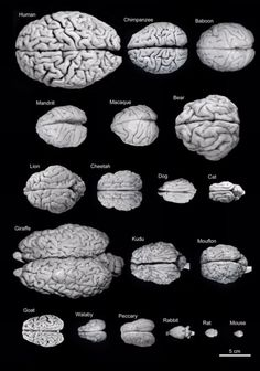 The human brain in comparison with those of other animals. The diverse yet unified pattern of nature never fails to amaze me.