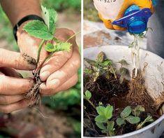 Как сажать клубнику в августе, чтобы не беспокоиться об урожае в следующем году… — Мир интересного