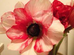 Red white anemone