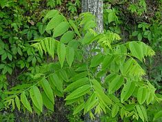 Butternut Tree (White Walnut)