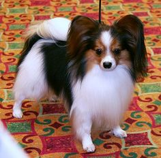 tri color papillon - hopefully what the puppy will end up looking like!