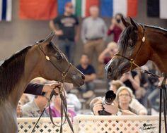 Scottsdale Arabian Horse Show News for Tuesday, February 17, 2015 :: Arabian Horses, Stallions, Farms, Arabians, for sale - Arabian Horse Network, www.arabhorse.com