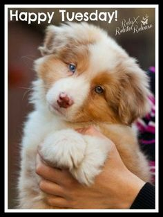 Make one special photo charms for your pets, compatible with your Pandora bracelets. This site says this is a Collie. I believe it is an Australian Shepherd. Either way, it's a cute puppy! Top 10 Most Affectionate Dog Breeds Beautiful Dogs, Animals Beautiful, Amazing Dogs, Cute Baby Animals, Funny Animals, Funny Pets, Animals Dog, Cute Puppies, Dogs And Puppies