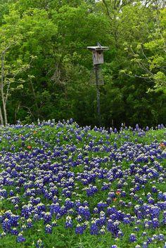 Bluebonnets and bluebird | Cedar Hill State Park - Texas sta… | Flickr