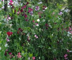 sweet peas, I just planted dozens of these I hope they do so mightily!