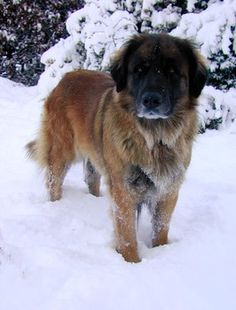 10 best cold weather dog breeds for a family with children http://www.examiner.com/list/the-10-best-cold-weather-dog-breeds-for-a-family-with-children