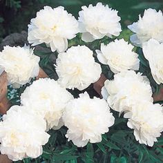 """Festiva Maxima Lifetime Peony  Breck's  $12.99  fragrant, 7"""" wide, pure white flowers with striking crimson  markings. zone 3-8"""