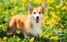 Télécharger fonds d'écran Welsh Corgi Pembroke, 4k, la pelouse, les animaux de compagnie, chiens, chiot, Welsh Corgi, mignon, chien, Chien Welsh Corgi, Corgi
