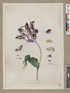 Tulipa purpurea, depicting the life cycle of the moth, from an album of 160 drawings entitled 'Merian's Drawings of European Insects &c'; with examples of a caterpillar and a chrysalis on the tulip, the stages of a beetle and a fly on the right Watercolour and bodycolour, on vellum. Drawn by: Maria Sibylla Merian. School/styleGerman. Date1691-1699 (circa).