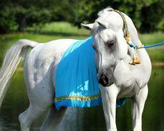 Halters | Heirloom Arabian Halters