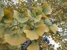 Go Nuts for Ginkgo Nuts - Finding, Harvesting, Processing and Cooking Ginkgo Nuts