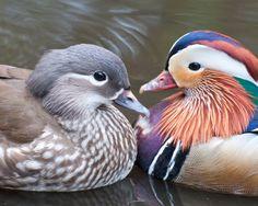 Pictures of Birds: Exotic Wildfowl: Mandarin Ducks