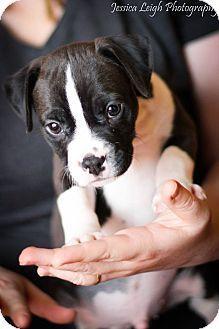 Reisterstown MD - American Pit Bull Terrier/Labrador Retriever Mix. Meet Benny a puppy for adoption.
