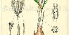 raffaelladivaio*illustrazione e creatività: LA NATURA E LE SUE MERAVIGLIE. E' partito un nuovo progetto, dedicato alla Natura. Particolare di TAVOLA SCIENTIFICA BOTANICA, cm. 42x29,7 (a breve disponibili stampe artistiche in tiratura limitata) ©raffaelladivaio.com2016