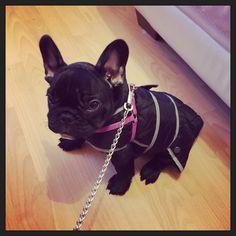 Simple Cuby Chubby Adorable Dog - 216dd4ffafb04d4aa2f9858e15cd01c0--french-bulldogs  HD_415215  .jpg