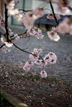 Cherry tree branches in bloom and fallen petals on ancient stone path by Laura Stolfi