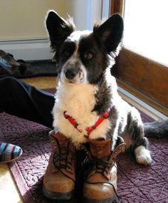 Corgi Ozzie puts his big boy boots on!