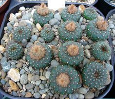 Frailea asteroids - Seedlings