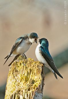 Tree Swallow - Cranky?! I'd hate to be on the receiving end! lol